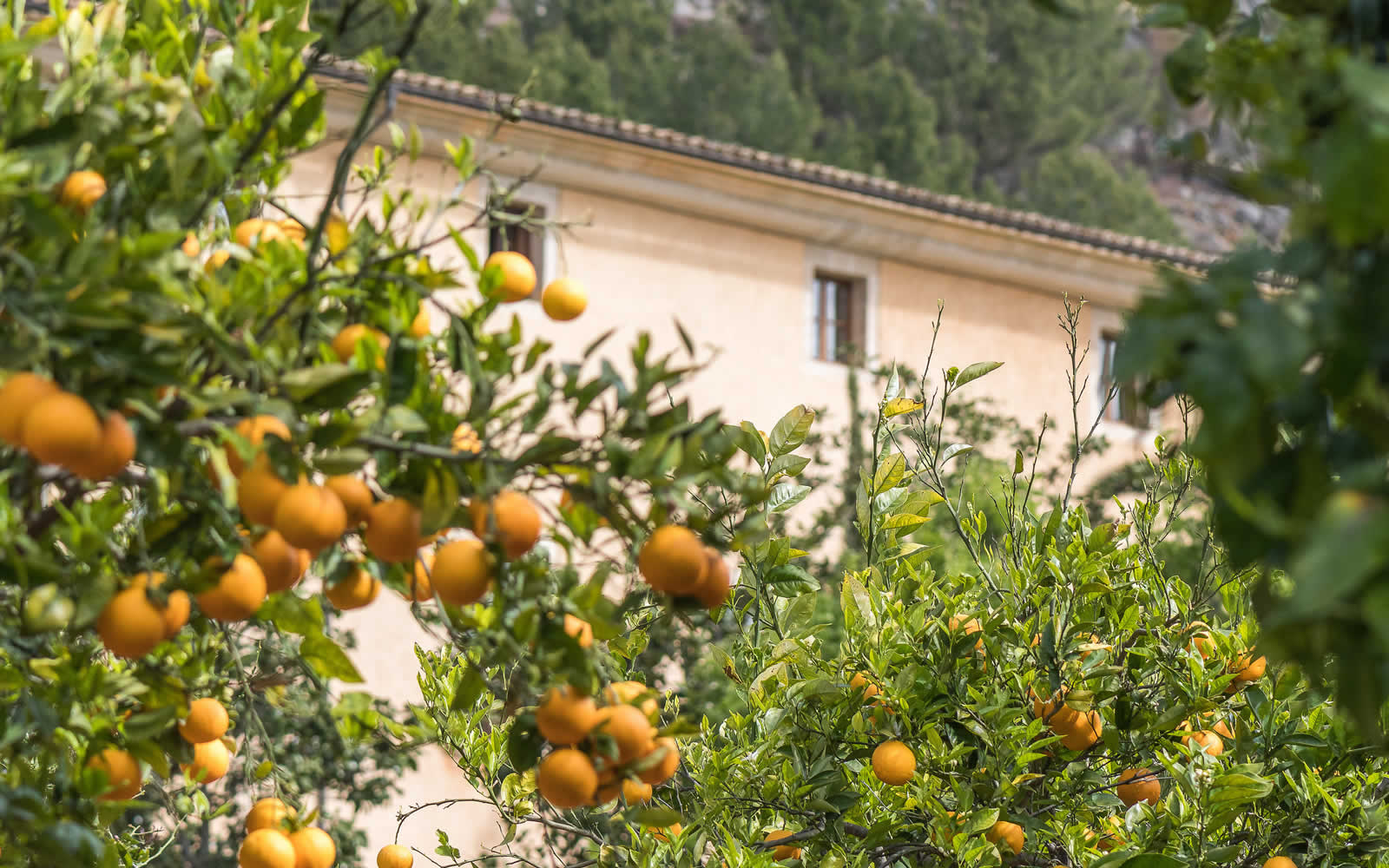 Orange Trees Son Brull Hotel